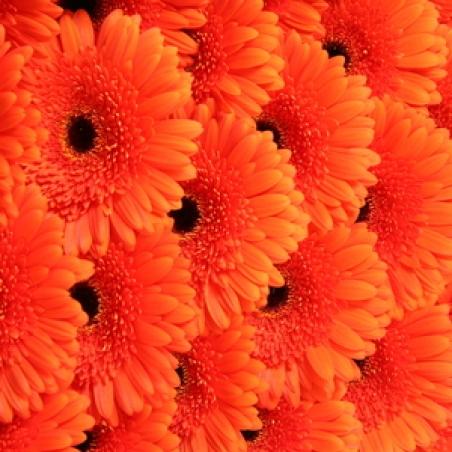 "Ziedi - Gerbera ""Candela orange"""